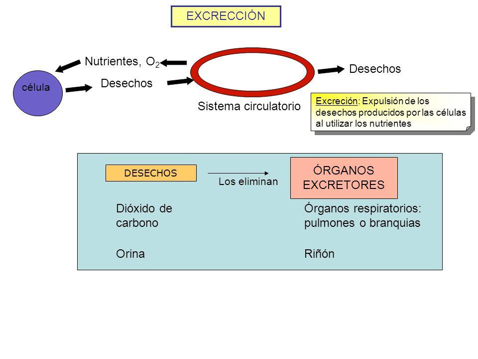 EXCRECCIÓN célula Nutrientes, O 2 Desechos Sistema circulatorio Excreción: Expulsión de los desechos producidos por las células al utilizar los nutrie