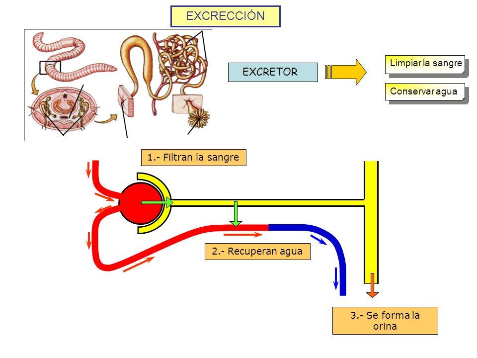 EXCRECCIÓN EXCRETOR Limpiar la sangre Conservar agua 1.- Filtran la sangre 2.- Recuperan agua 3.- Se forma la orina