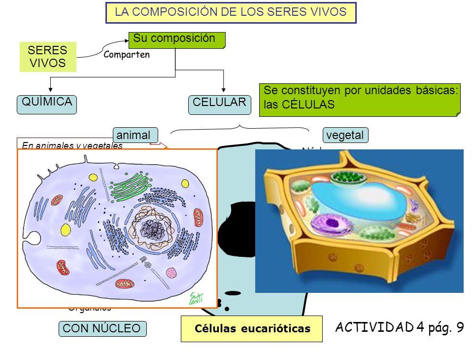 LA COMPOSICIÓN DE LOS SERES VIVOS SERES VIVOS Su composición Comparten QUÍMICA CELULAR Se constituyen por unidades básicas: las CÉLULAS En animales y