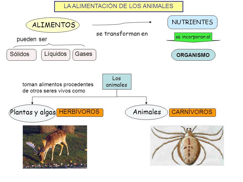 LA ALIMENTACIÓN DE LOS ANIMALES ALIMENTOS NUTRIENTES se transforman en se incorporan al ORGANISMO Sólidos LíquidosGases pueden ser Plantas y algas Los