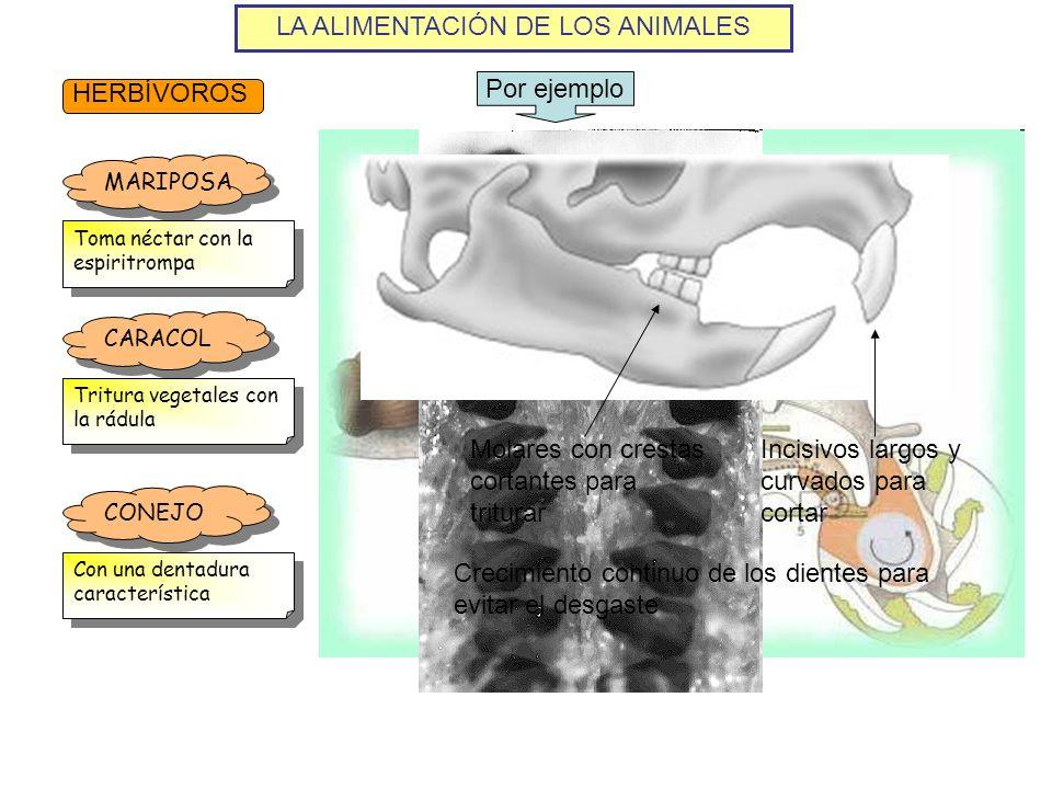 LA ALIMENTACIÓN DE LOS ANIMALES HERBÍVOROS Por ejemplo MARIPOSA Toma néctar con la espiritrompa CARACOL Tritura vegetales con la rádula CONEJO Con una