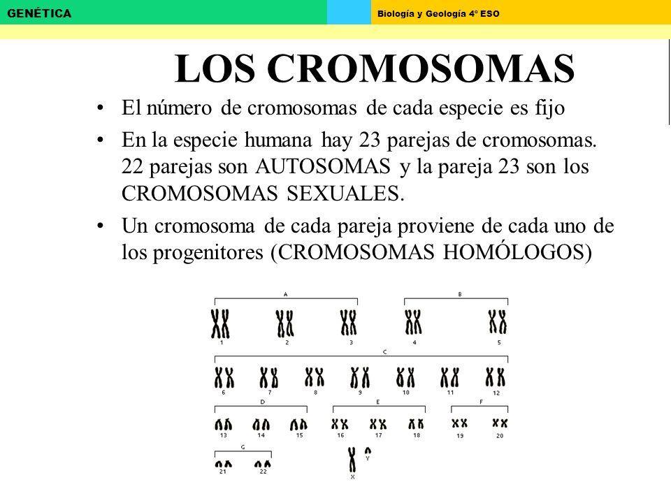 Biología y Geología 4º ESO GENÉTICA LOS CROMOSOMAS El número de cromosomas de cada especie es fijo En la especie humana hay 23 parejas de cromosomas.