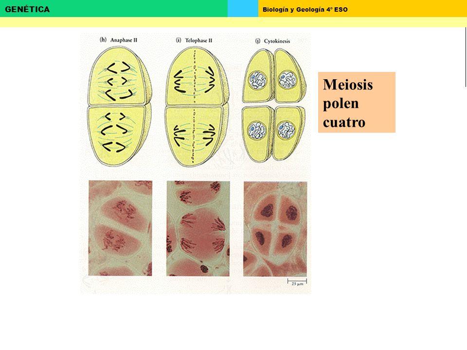 Biología y Geología 4º ESO GENÉTICA Meiosis polen cuatro