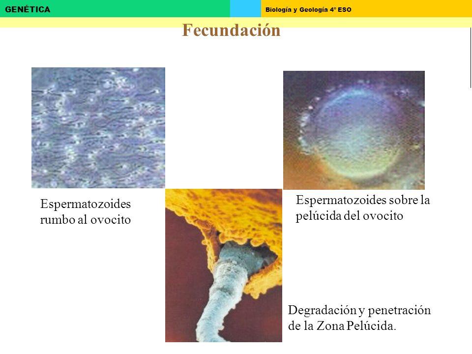 Biología y Geología 4º ESO GENÉTICA Espermatozoides rumbo al ovocito Espermatozoides sobre la pelúcida del ovocito Degradación y penetración de la Zona Pelúcida.