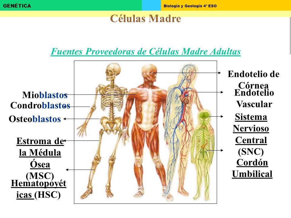 Biología y Geología 4º ESO GENÉTICA Células Madre Fuentes Proveedoras de Células Madre Adultas Osteoblastos Estroma de la Médula Ósea (MSC) Hematopoyét icas (HSC) Sistema Nervioso Central (SNC) Cordón Umbilical Mioblastos Endotelio Vascular Endotelio de Córnea Condroblastos