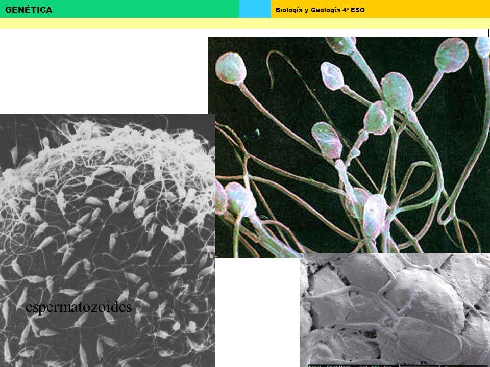 Biología y Geología 4º ESO GENÉTICA Embrión humano de 12 células (contiene 3 Blastómeros) 8 células a las 46hs 16 células a las 68hs Fase Temprana de la Embriogénesis