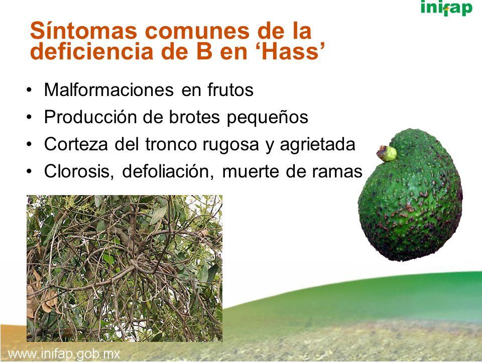 Síntomas comunes de la deficiencia de B en Hass Malformaciones en frutos Producción de brotes pequeños Corteza del tronco rugosa y agrietada Clorosis,
