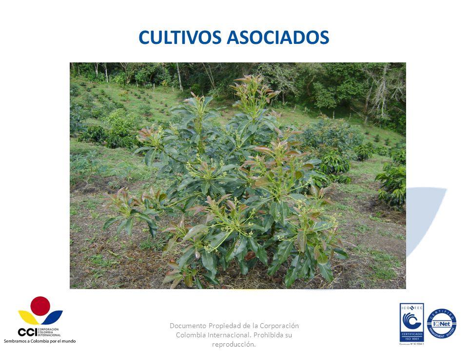 Documento Propiedad de la Corporación Colombia Internacional. Prohibida su reproducción. CULTIVOS ASOCIADOS