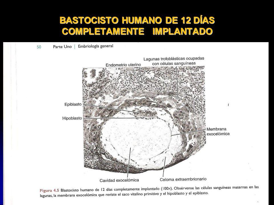 BASTOCISTO HUMANO DE 12 DÍAS COMPLETAMENTE IMPLANTADO