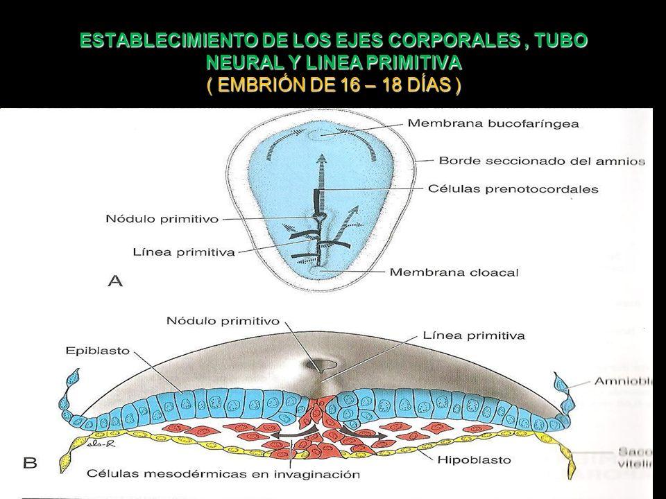 ESTABLECIMIENTO DE LOS EJES CORPORALES, TUBO NEURAL Y LINEA PRIMITIVA ( EMBRIÓN DE 16 – 18 DÍAS )