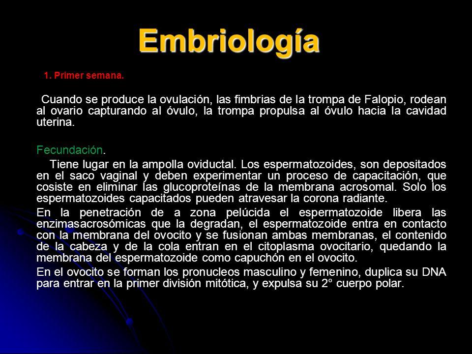 Embriología 1. Primer semana. Cuando se produce la ovulación, las fimbrias de la trompa de Falopio, rodean al ovario capturando al óvulo, la trompa pr
