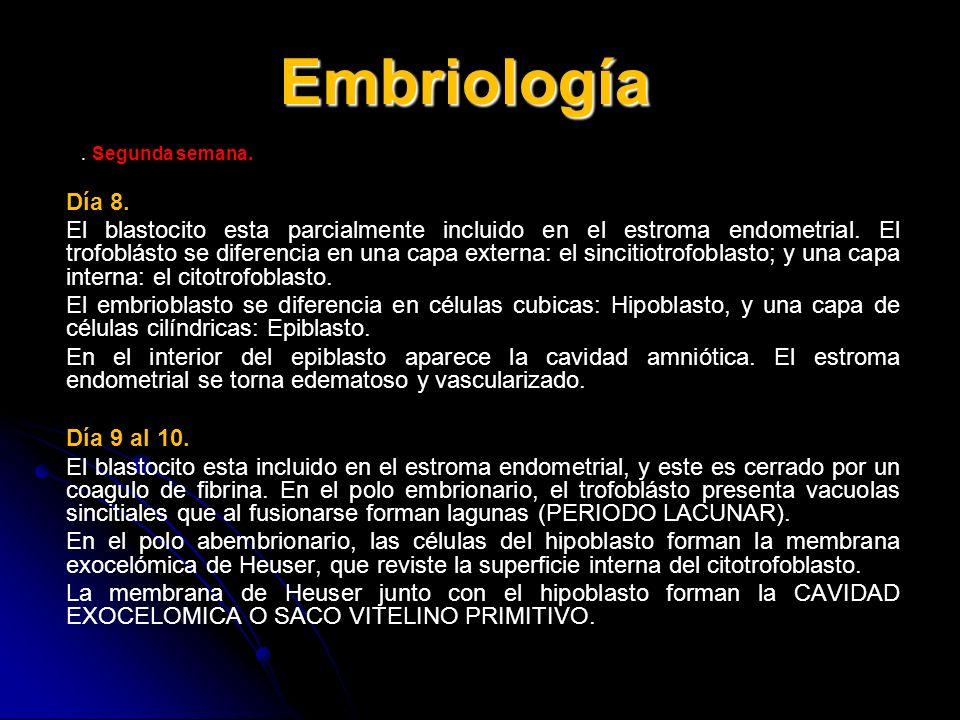 Embriología. Segunda semana. Día 8. El blastocito esta parcialmente incluido en el estroma endometrial. El trofoblásto se diferencia en una capa exter