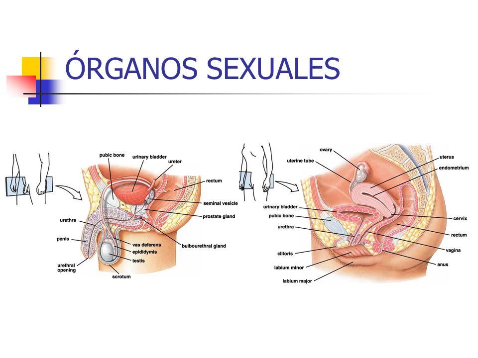 ÓRGANOS SEXUALES