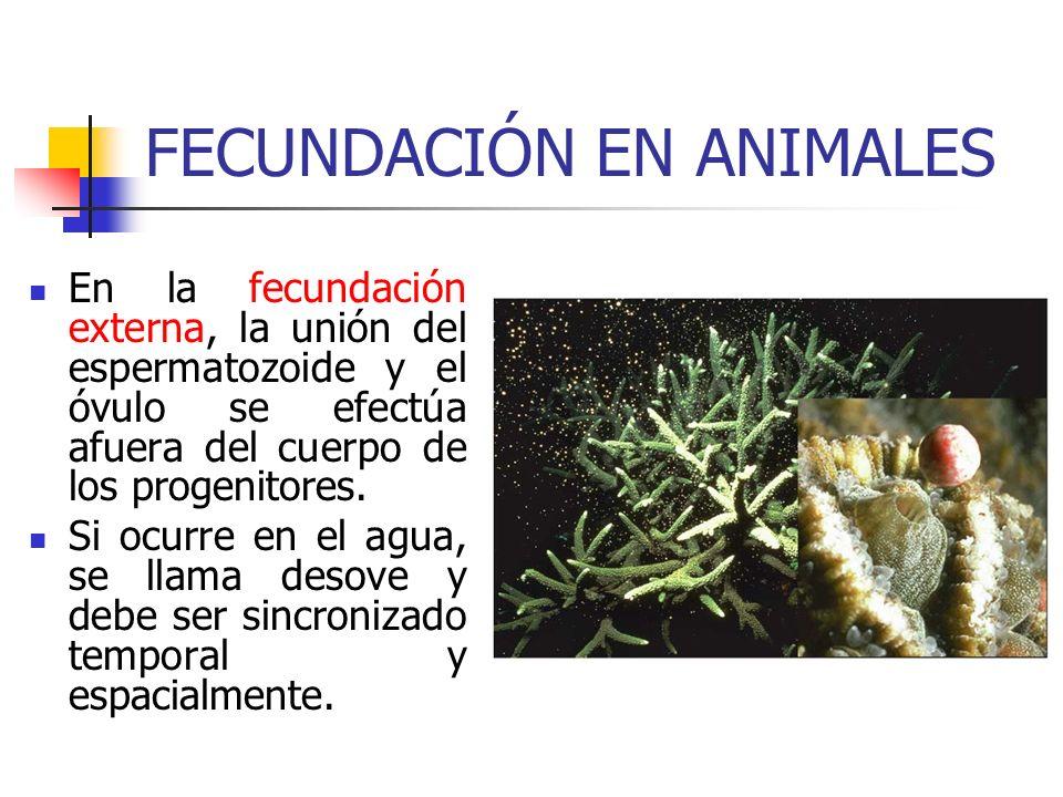 FECUNDACIÓN EN ANIMALES En la fecundación externa, la unión del espermatozoide y el óvulo se efectúa afuera del cuerpo de los progenitores. Si ocurre