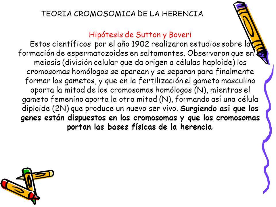 Hipótesis de Sutton y Boveri Estos científicos por el año 1902 realizaron estudios sobre la formación de espermatozoides en saltamontes. Observaron qu