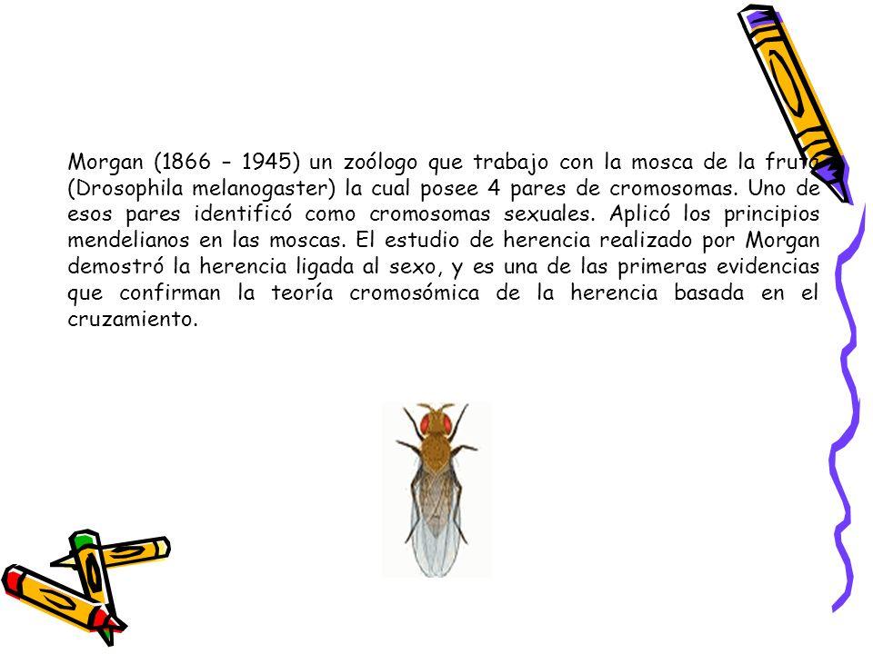 Morgan (1866 – 1945) un zoólogo que trabajo con la mosca de la fruta (Drosophila melanogaster) la cual posee 4 pares de cromosomas. Uno de esos pares
