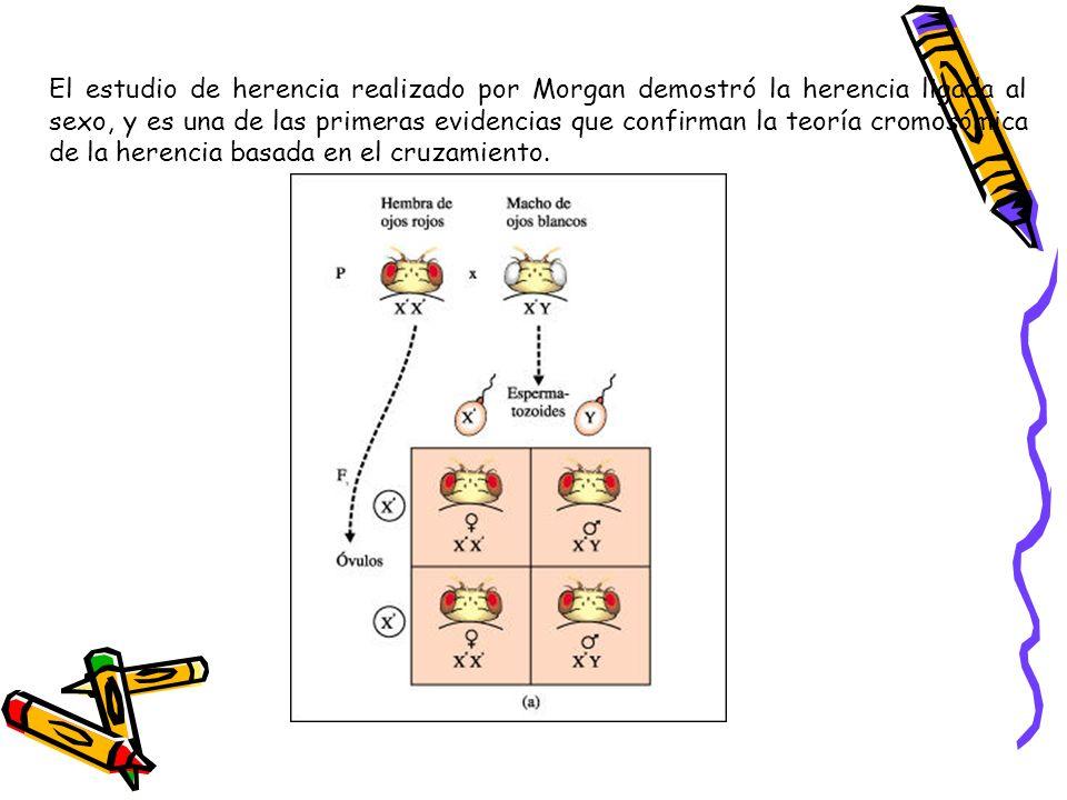 El estudio de herencia realizado por Morgan demostró la herencia ligada al sexo, y es una de las primeras evidencias que confirman la teoría cromosómi