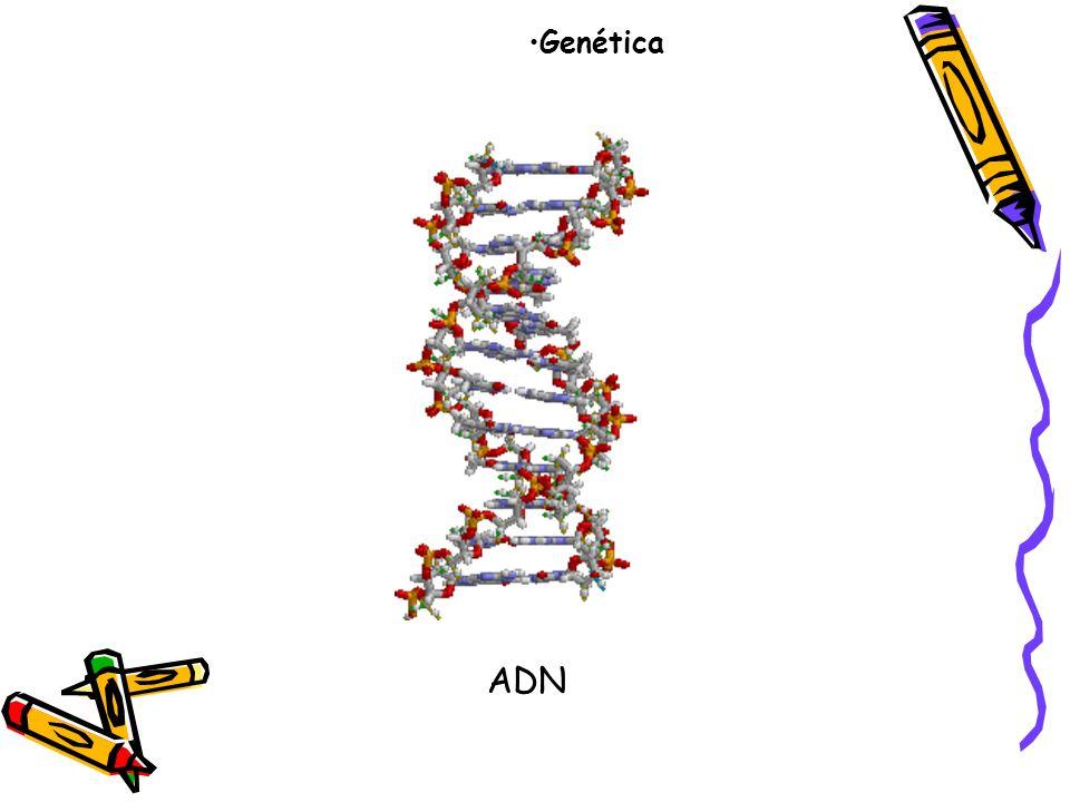 La genética es una rama de las ciencias biológicas, cuyo objeto es el estudio de los patrones de herencia, del modo en que los rasgos y las características se transmiten de padres a hijos Los medios por los cuales los distintos caracteres se trasmiten a la descendencia y las causas de semejanzas y diferencias entre los seres vivos.