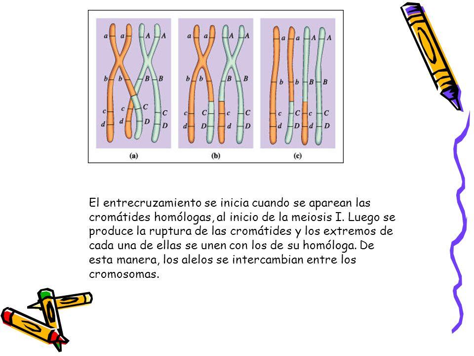 El entrecruzamiento se inicia cuando se aparean las cromátides homólogas, al inicio de la meiosis I. Luego se produce la ruptura de las cromátides y l