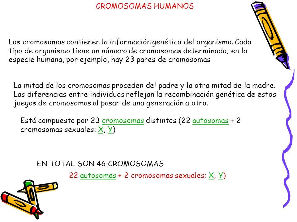 Los cromosomas contienen la información genética del organismo. Cada tipo de organismo tiene un número de cromosomas determinado; en la especie humana