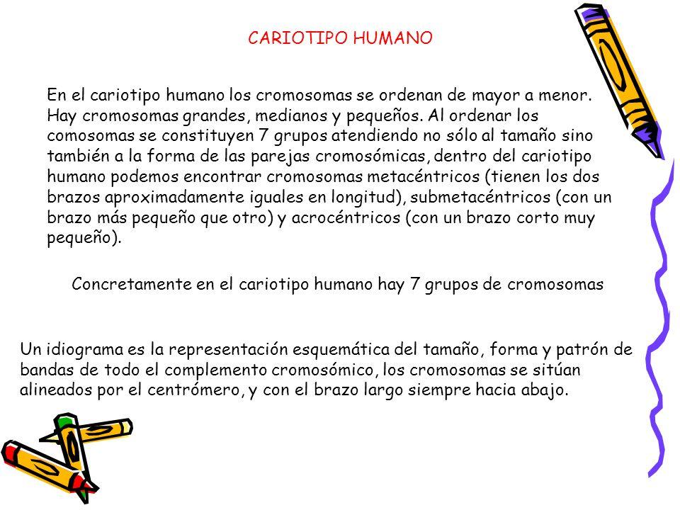 En el cariotipo humano los cromosomas se ordenan de mayor a menor. Hay cromosomas grandes, medianos y pequeños. Al ordenar los comosomas se constituye