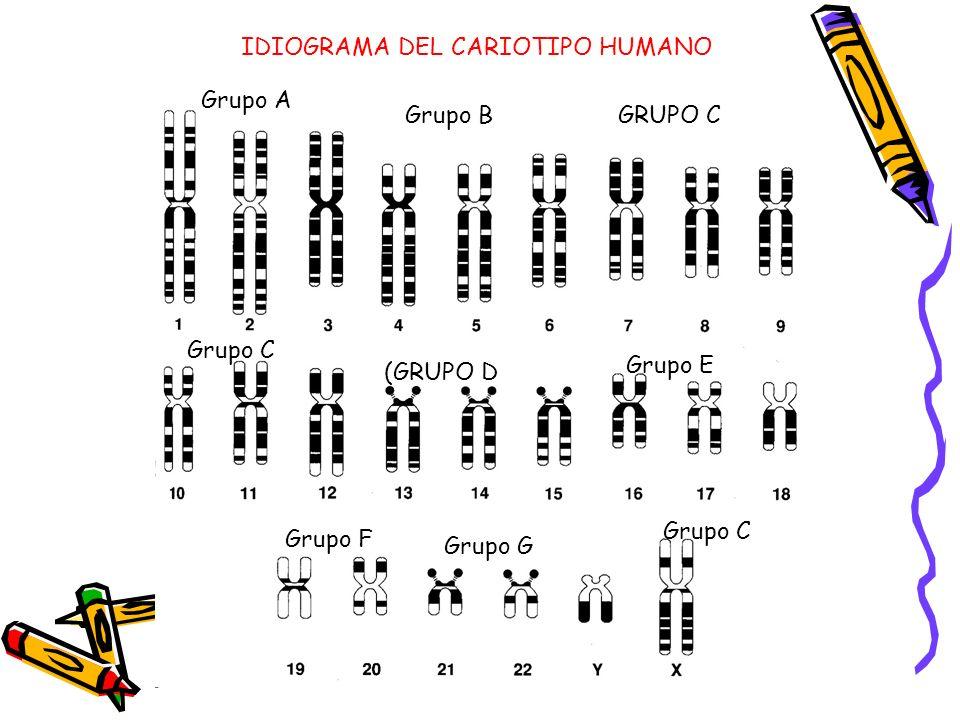 IDIOGRAMA DEL CARIOTIPO HUMANO Grupo A Grupo BGRUPO C Grupo C (GRUPO D Grupo E Grupo F Grupo G Grupo C