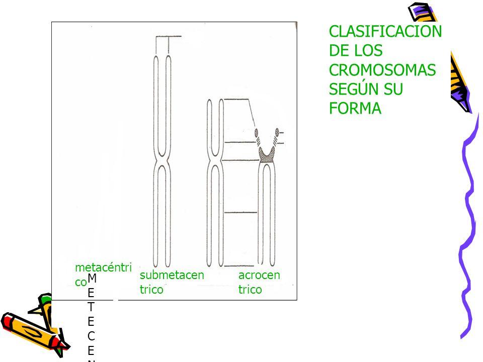 CLASIFICACION DE LOS CROMOSOMAS SEGÚN SU FORMA METECENTRICOMETECENTRICO metacéntri co submetacen trico acrocen trico