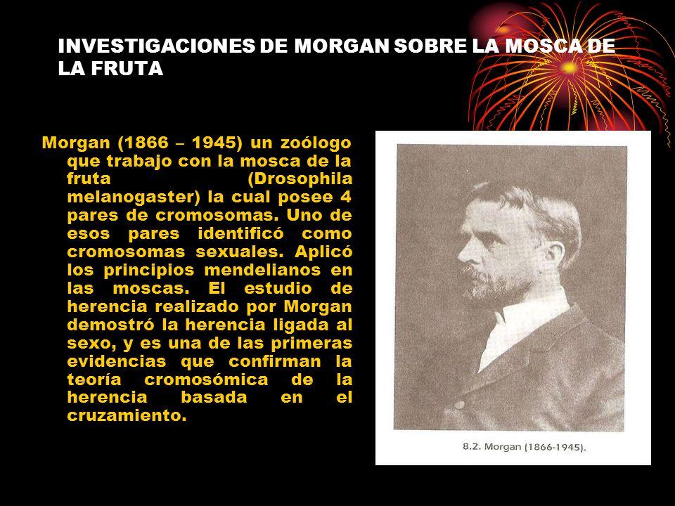 INVESTIGACIONES DE MORGAN SOBRE LA MOSCA DE LA FRUTA Morgan (1866 – 1945) un zoólogo que trabajo con la mosca de la fruta (Drosophila melanogaster) la