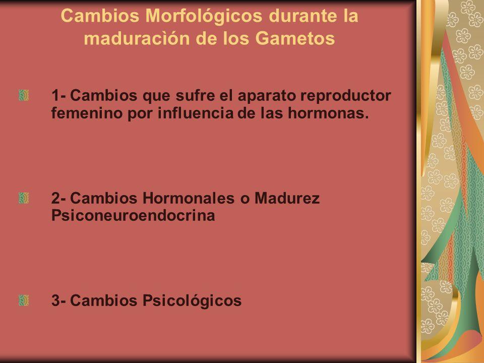 Cambios Morfológicos durante la maduracìón de los Gametos 1- Cambios que sufre el aparato reproductor femenino por influencia de las hormonas. 2- Camb