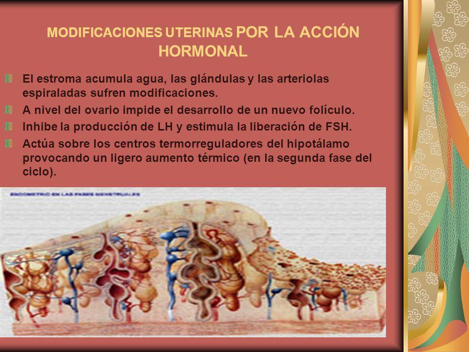 MODIFICACIONES UTERINAS POR LA ACCIÓN HORMONAL El estroma acumula agua, las glándulas y las arteriolas espiraladas sufren modificaciones. A nivel del