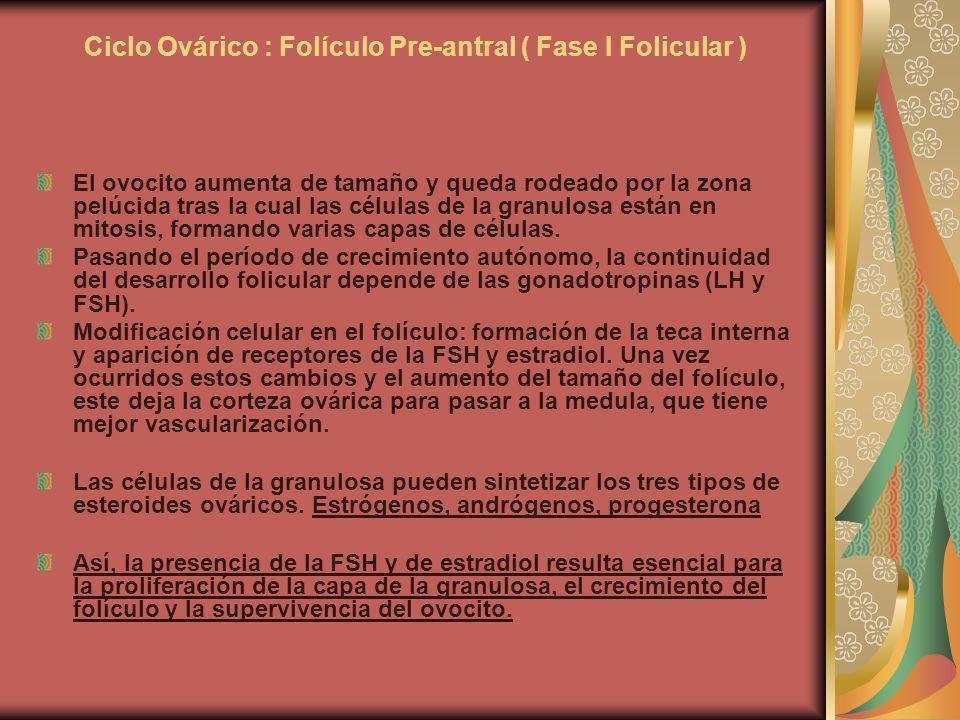 Ciclo Ovárico : Folículo Pre-antral ( Fase I Folicular ) El ovocito aumenta de tamaño y queda rodeado por la zona pelúcida tras la cual las células de