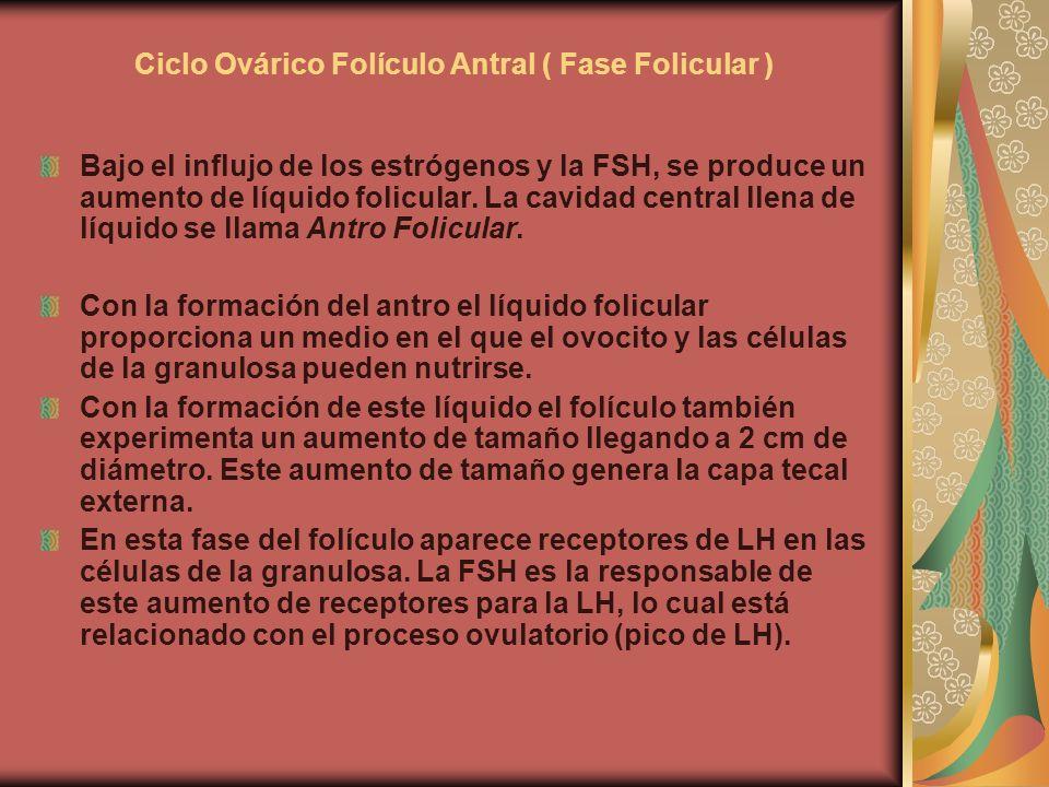 Ciclo Ovárico Folículo Antral ( Fase Folicular ) Bajo el influjo de los estrógenos y la FSH, se produce un aumento de líquido folicular. La cavidad ce