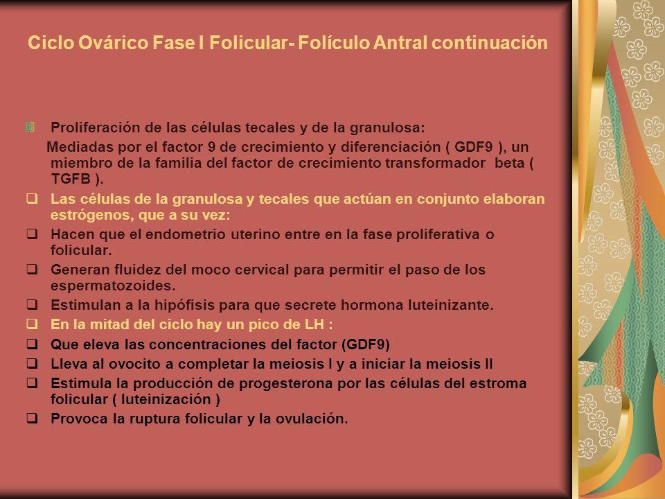 Ciclo Ovárico Fase I Folicular- Folículo Antral continuación Proliferación de las células tecales y de la granulosa: Mediadas por el factor 9 de creci