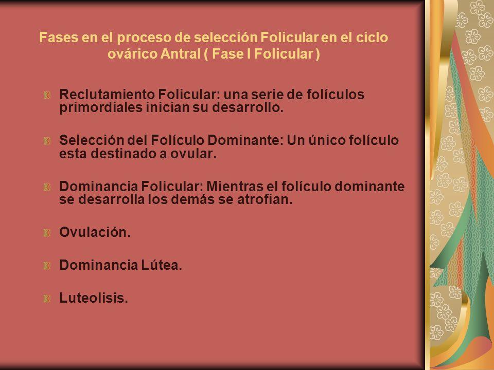 Fases en el proceso de selección Folicular en el ciclo ovárico Antral ( Fase I Folicular ) Reclutamiento Folicular: una serie de folículos primordiale