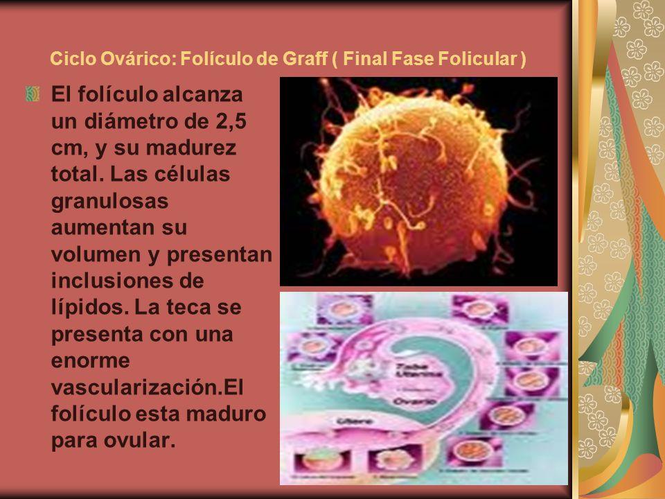 Ciclo Ovárico: Folículo de Graff ( Final Fase Folicular ) El folículo alcanza un diámetro de 2,5 cm, y su madurez total. Las células granulosas aument
