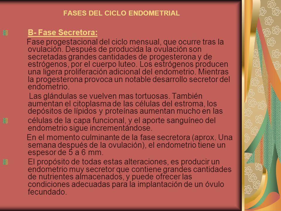 FASES DEL CICLO ENDOMETRIAL B- Fase Secretora: Fase progestacional del ciclo mensual, que ocurre tras la ovulación. Después de producida la ovulación