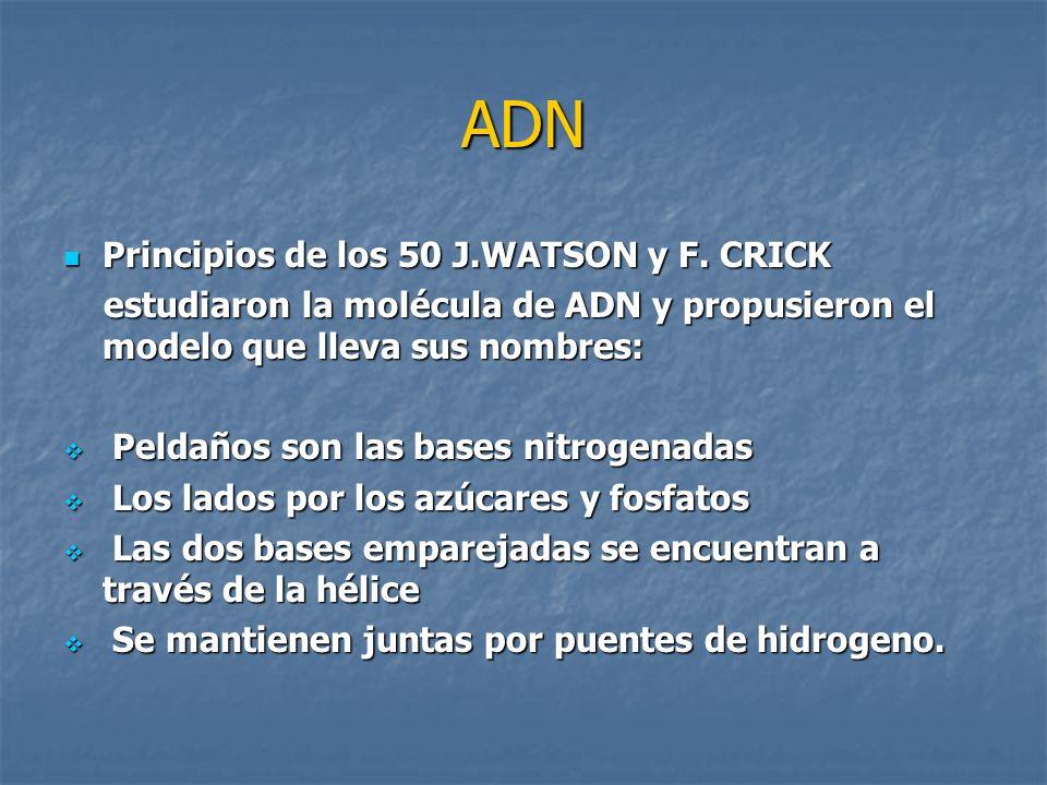 ADN Principios de los 50 J.WATSON y F. CRICK Principios de los 50 J.WATSON y F. CRICK estudiaron la molécula de ADN y propusieron el modelo que lleva