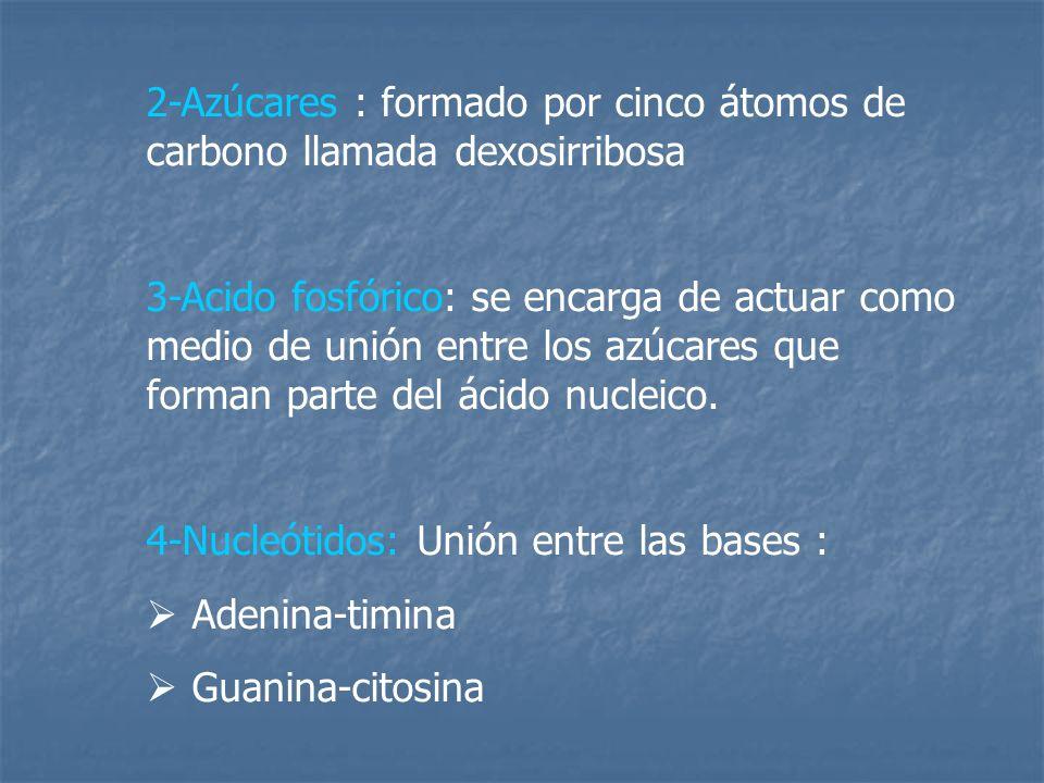 2-Azúcares : formado por cinco átomos de carbono llamada dexosirribosa 3-Acido fosfórico: se encarga de actuar como medio de unión entre los azúcares