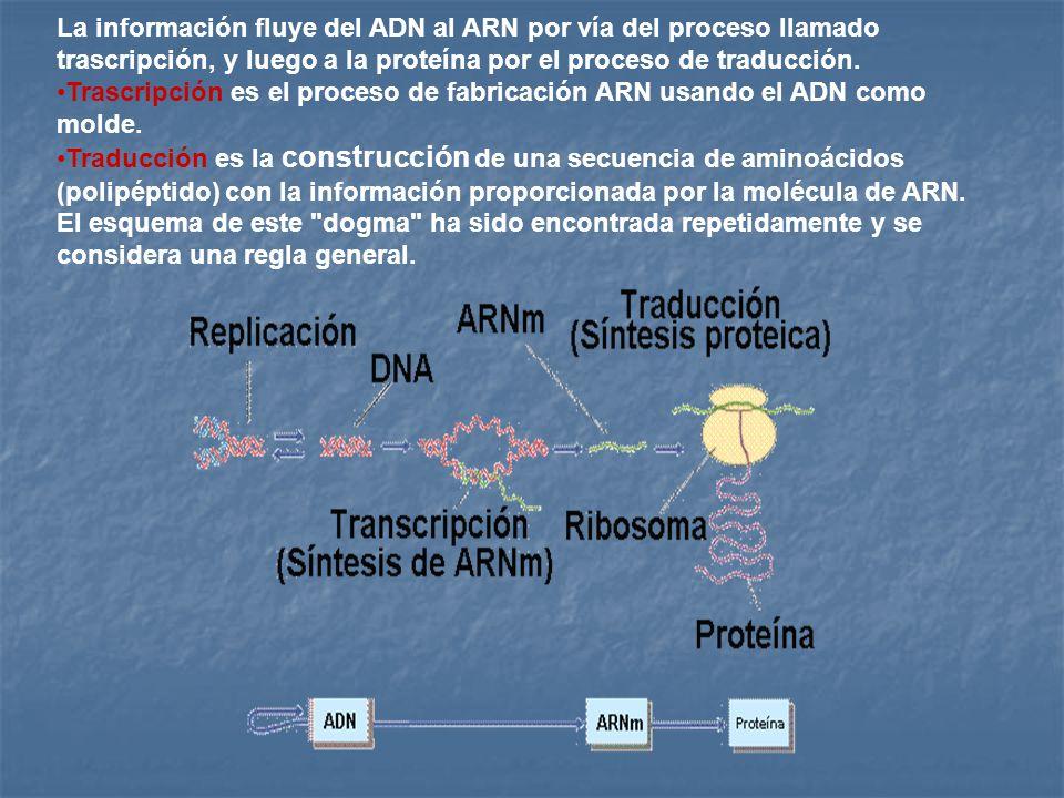 La información fluye del ADN al ARN por vía del proceso llamado trascripción, y luego a la proteína por el proceso de traducción. Trascripción es el p