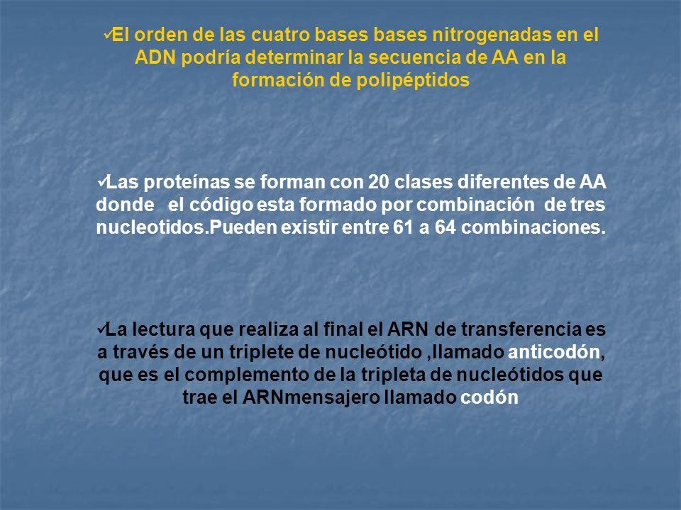 El orden de las cuatro bases bases nitrogenadas en el ADN podría determinar la secuencia de AA en la formación de polipéptidos Las proteínas se forman