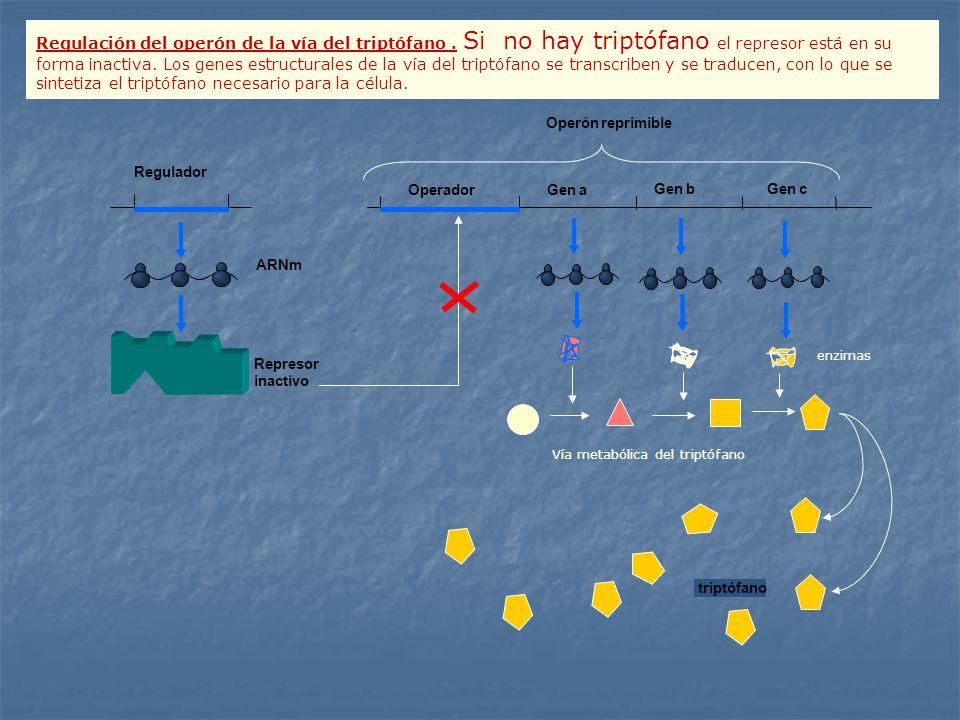Regulador Operón reprimible OperadorGen a Gen c Gen b ARNm Represor inactivo triptófano Vía metabólica del triptófano enzimas Regulación del operón de