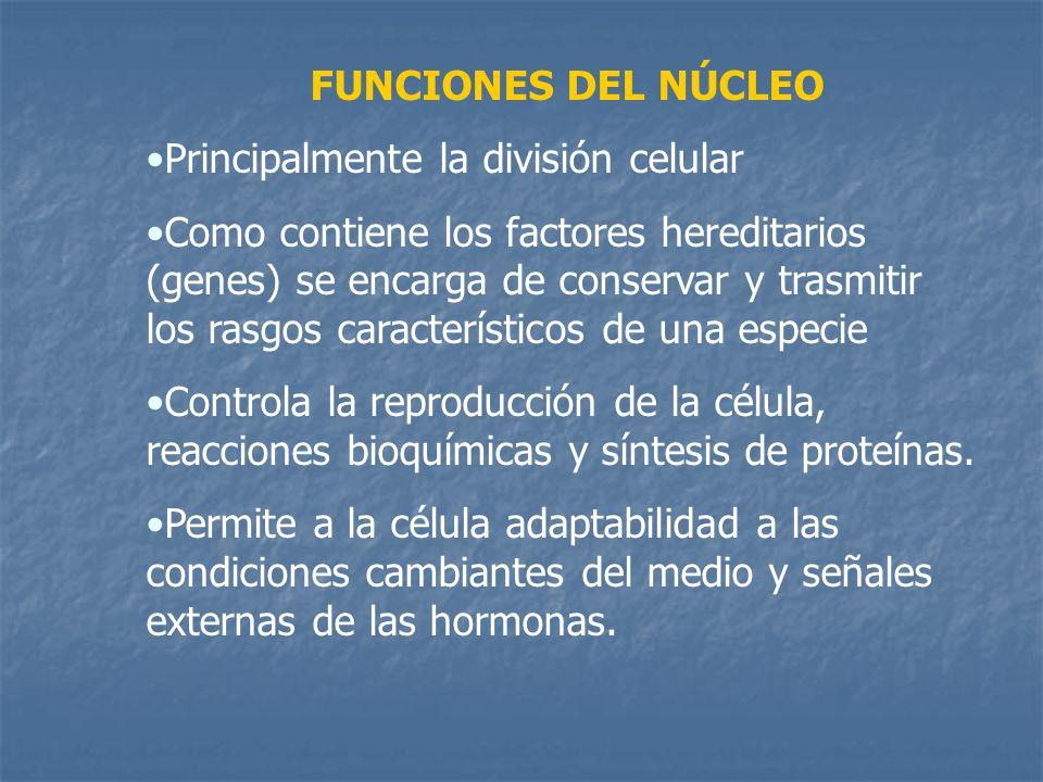 FUNCIONES DEL NÚCLEO Principalmente la división celular Como contiene los factores hereditarios (genes) se encarga de conservar y trasmitir los rasgos