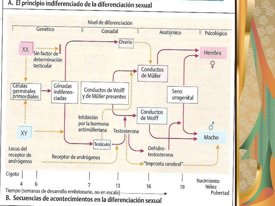TRANSTORNOS DEL DESARROLLO SEXUAL El desarrollo sexual normal es el resultado de numerosos genes.