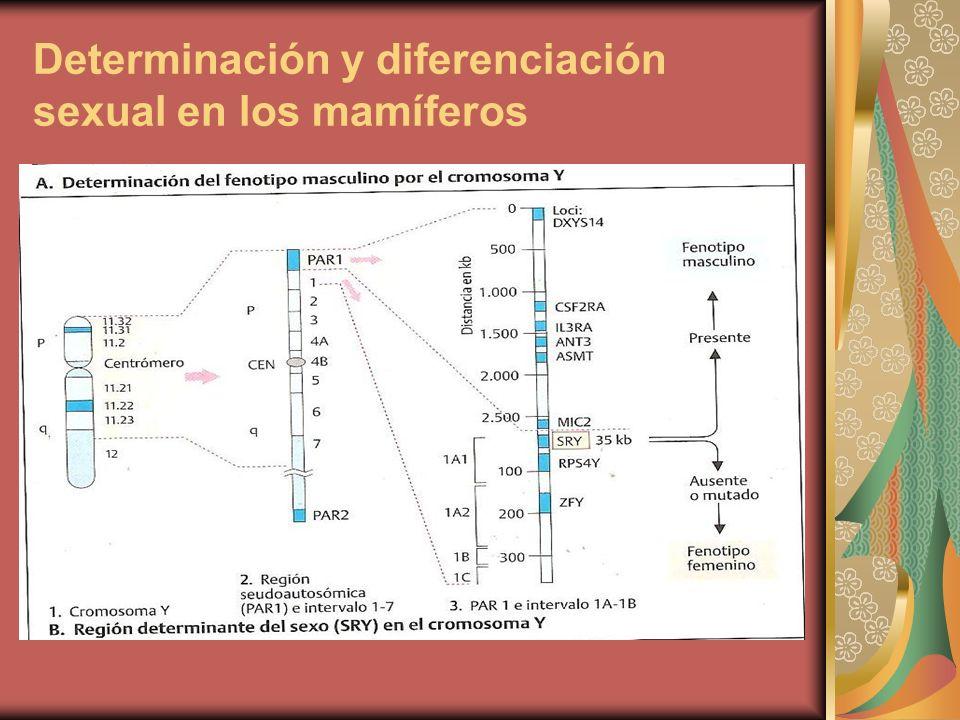 Desarrollo masculino de un ratón XX transgénico para el gen Sry: El Sry induce el desarrollo masculino independiente del resto del cromo Y.