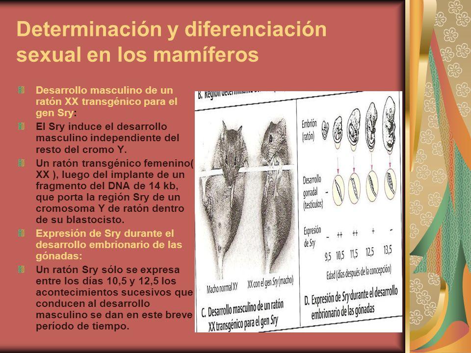 Diferenciación sexual La diferenciación sexual( desarrollo de un sexo determinado) implica muchos pasos jerárquicos del desarrollo regulados por vía genética, en los mamíferos el desarrollo de las estructuras masculinas requiere la inducción de los genes apropiados.