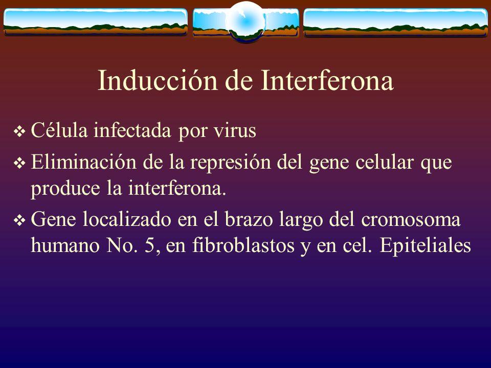 Inducción de Interferona Célula infectada por virus Eliminación de la represión del gene celular que produce la interferona. Gene localizado en el bra