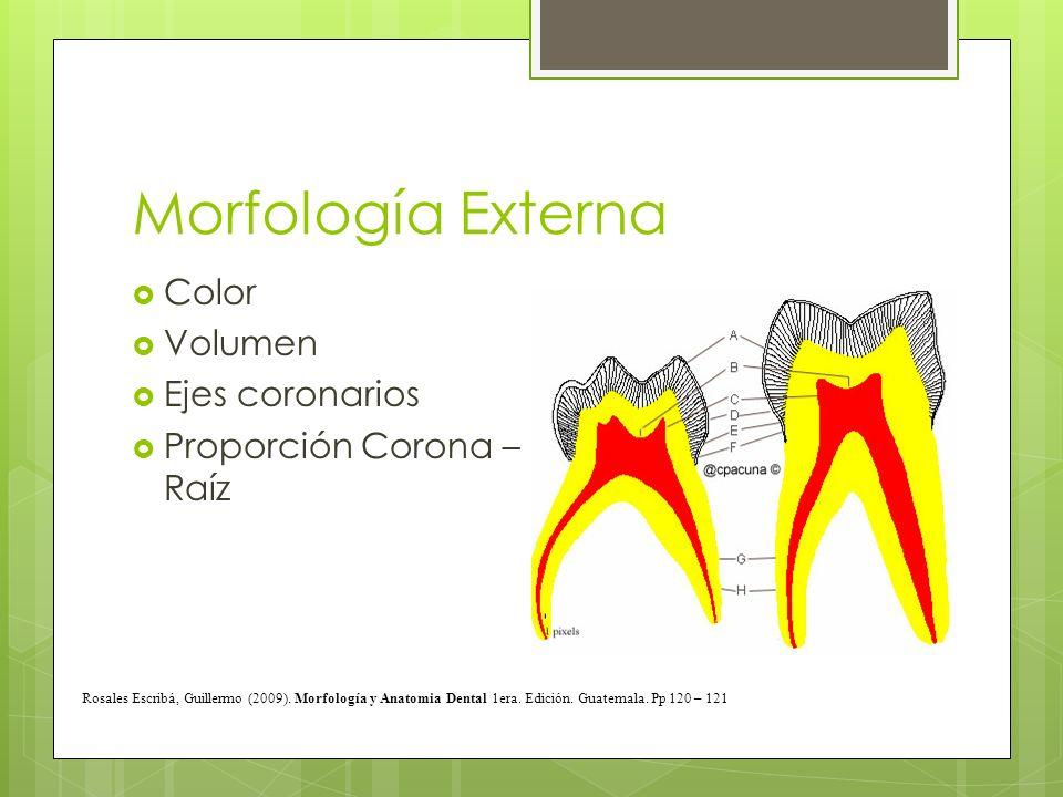 Morfología Externa Color Volumen Ejes coronarios Proporción Corona – Raíz Rosales Escribá, Guillermo (2009). Morfología y Anatomia Dental 1era. Edició