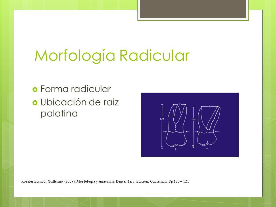 Morfología Radicular Forma radicular Ubicación de raiz palatina Rosales Escribá, Guillermo (2009). Morfología y Anatomia Dental 1era. Edición. Guatema