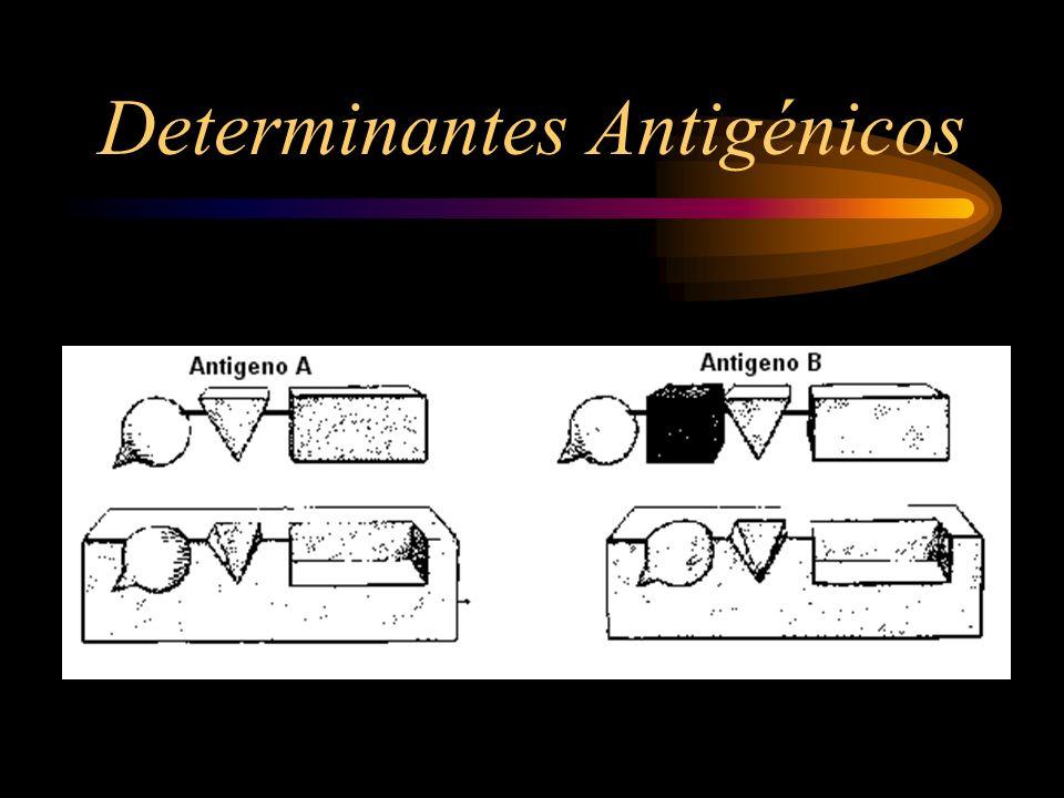 INMUNOGENOS Sustancia capaz de provocar una respuesta inmune por elaboración de anticuerpos Los inmunógenos más potentes son las proteínas macromoleculares