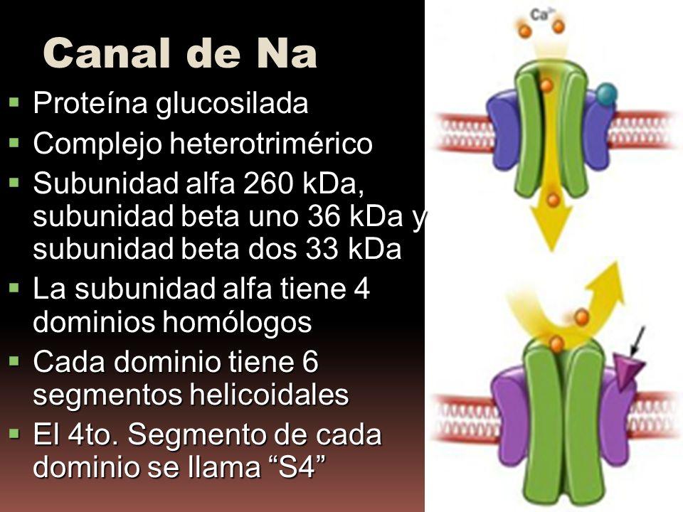 Proteína glucosilada Proteína glucosilada Complejo heterotrimérico Complejo heterotrimérico Subunidad alfa 260 kDa, subunidad beta uno 36 kDa y subunidad beta dos 33 kDa Subunidad alfa 260 kDa, subunidad beta uno 36 kDa y subunidad beta dos 33 kDa La subunidad alfa tiene 4 dominios homólogos La subunidad alfa tiene 4 dominios homólogos Cada dominio tiene 6 segmentos helicoidales Cada dominio tiene 6 segmentos helicoidales El 4to.